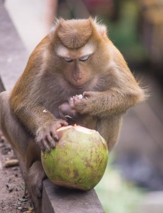 brown monkey sitting on concrete ground floor and eating green coconut